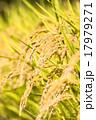 稲穂 稲 穀物の写真 17979271