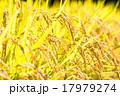 稲穂 稲 穀物の写真 17979274