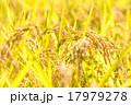 稲穂 稲 穀物の写真 17979278