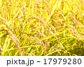 稲穂 稲 穀物の写真 17979280