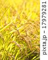 稲穂 稲 穀物の写真 17979281