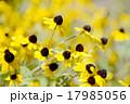 植物 ルドベキア 花の写真 17985056