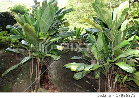 ハワイの神聖な木 ティ- プラント Ti Plant 17986875
