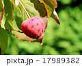 実 ヤマボウシ 落葉高木の写真 17989382