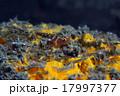 ガラスハゼの仲間、バリ島 17997377
