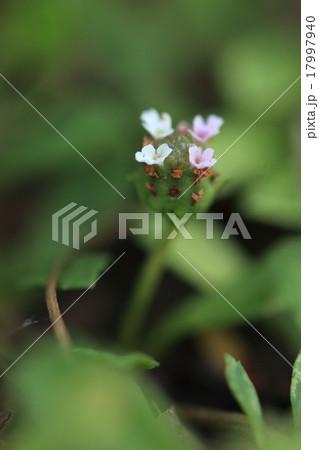 自然 植物 イワダレソウ、在来種です。園芸用から緑化資材までいろいろな品種が作られているようです 17997940
