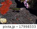 ミナミフトスジイシモチ、バリ島 17998333
