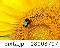 ヒマワリとハチ 18003707