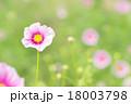 コスモス(日の丸) 18003798