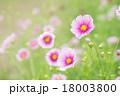 コスモス(日の丸) 18003800