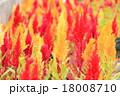 満開 花 ケイトウの写真 18008710