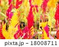植物 花 ケイトウの写真 18008711