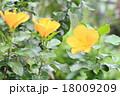 ハイビスカスの花 18009209