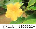 ハイビスカスの花 18009210