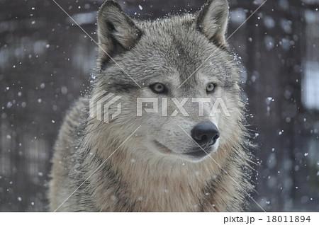 シンリンオオカミ 18011894