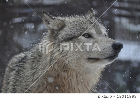シンリンオオカミ 18011895