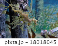 タツノオトシゴ シードラゴン 18018045