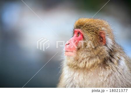 温泉に入る猿 18021377