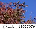 山黄櫨 秋のヤマハゼ 18027079
