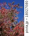 山黄櫨 秋のヤマハゼ 18027080