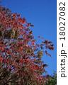 山黄櫨 秋のヤマハゼ 18027082