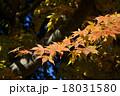黄色い紅葉 18031580