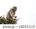 猿 白スペース ニホンザル 18035115