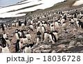 南極のジェンツーペンギン 18036728