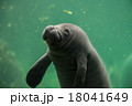 newborn baby manatee close up portrait 18041649