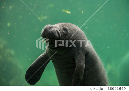 newborn baby manatee close up portrait
