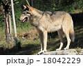 シンリンオオカミ 18042229