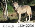 シンリンオオカミ 18042230
