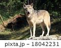 シンリンオオカミ 18042231