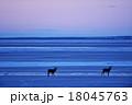 エゾシカ 朝焼け 野付半島の写真 18045763