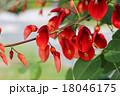 デイゴ デイゴの花 植物の写真 18046175