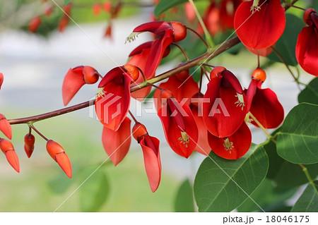 デイゴの花 18046175