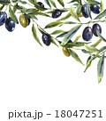 もくせい科 オリーブ 樹木のイラスト 18047251