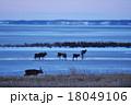 鹿 動物 蝦夷鹿の写真 18049106