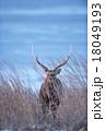 鹿 動物 蝦夷鹿の写真 18049193