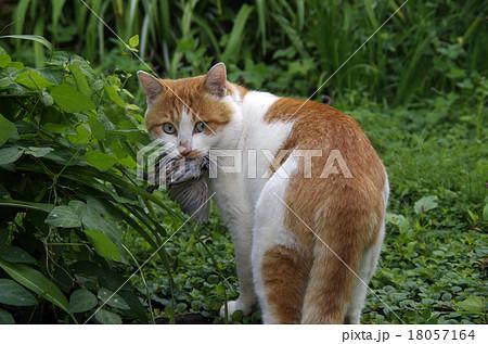 スズメを食べる猫 18057164