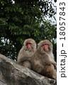 猿 2匹 ニホンザルの写真 18057843
