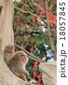 猿 2匹 ニホンザルの写真 18057845