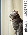 アメリカンショートヘア 猫 横顔の写真 18057859