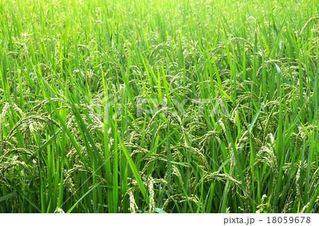 赤とんぼのとまる実りの稲 18059678