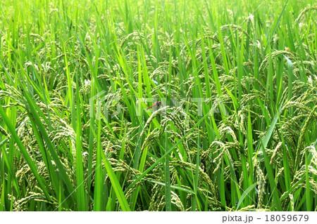 赤トンボと稲 18059679