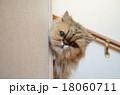 チンチラの見送り(行ってらっしゃい!) 18060711