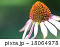 花 エキナセア ムラサキバレンギクの写真 18064978