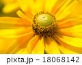 花 エキナセア ムラサキバレンギクの写真 18068142