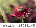 花 エキナセア ムラサキバレンギクの写真 18068145
