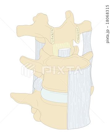 腰椎靱帯右腹側前方 18068315